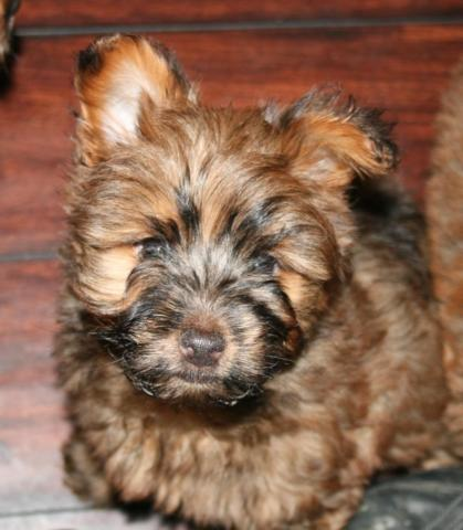 Carkie Puppies Yorkie & Cairn Terrier Mix 9 Weeks Old Vet Checked