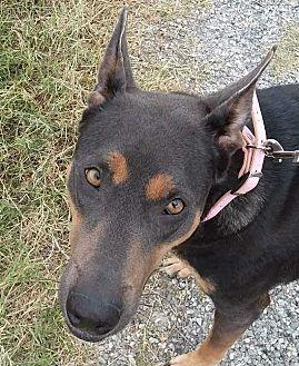 Carly Doberman Pinscher Young Female