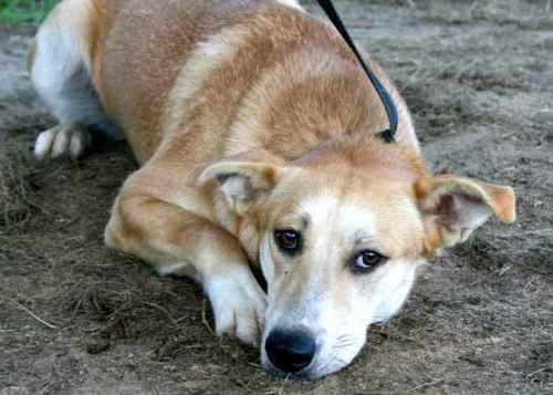Carolina Dog - Delta - Medium - Young - Female - Dog
