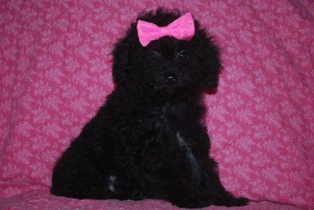 Caroline is a Beautiful Black Toy Poodle