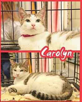 Carolyn Domestic Shorthair Kitten Female