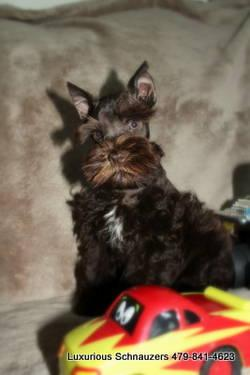 Carter AKC Toy Miniature Schnauzer 9 Weeks Supercoat for Sale in ...