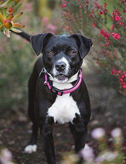 Casey American Pit Bull Terrier Adult Female