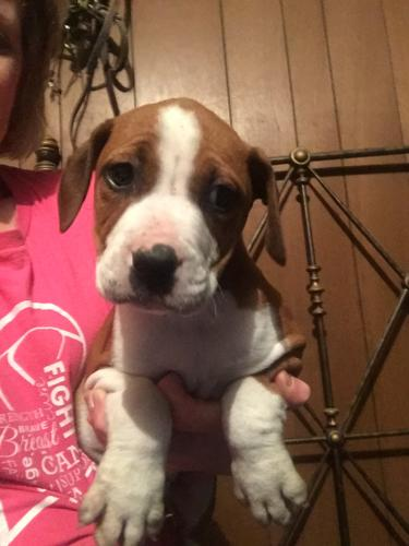 Cash American Bulldog Baby Adoption Rescue For Sale In