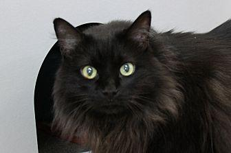 Casino Domestic Longhair Adult Male