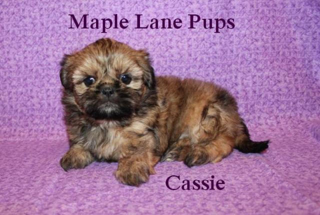 Cassie Classic Solid Gold Shih Tzu Puppy Quality Home Rasied