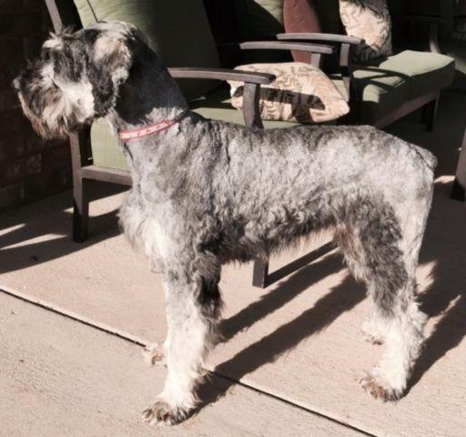 castlerocks giant schnauzer puppies for Sale in Mason ...