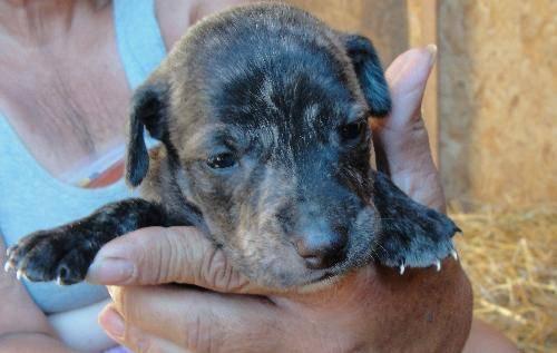 dog ready for adoption catahoula leopard dog australian shepherd dog