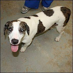 Catahoula Leopard Dog Blue Medium Adult Male Dog For Sale