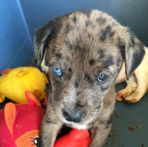 Catahoula Leopard Puppies For Sale In Denver Colorado Classified
