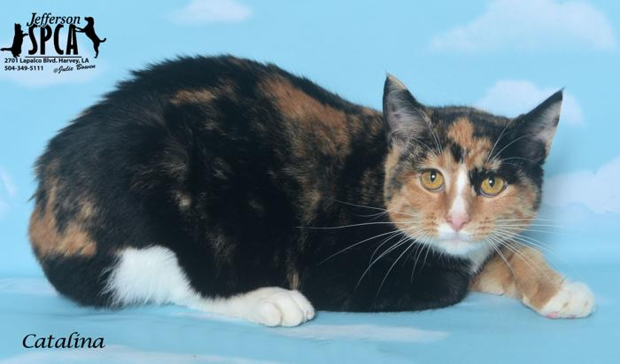Catalina Calico Young - Adoption, Rescue for Sale in Harvey ...