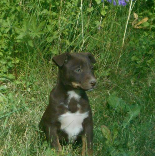 Catalussie Border Puppies 3 Left
