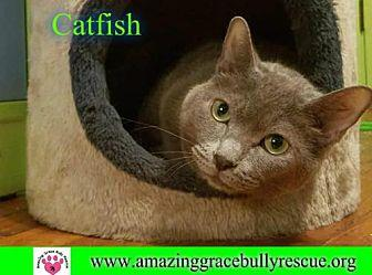 Catfish Russian Blue Adult Male