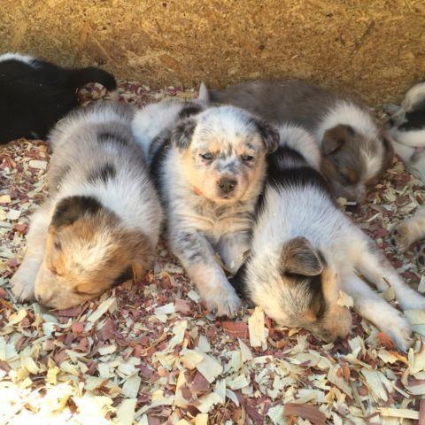Cattle Dog/Australian Shepherd cross puppies for Sale in ...