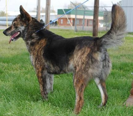 Dog Queenie Cattle Dog Queenie Medium