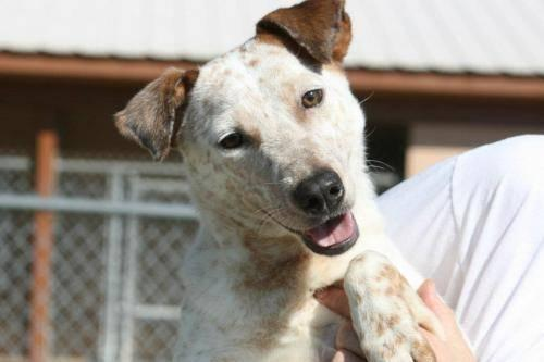 Cattle Dog - Snoopy - Medium - Young - Female - Dog