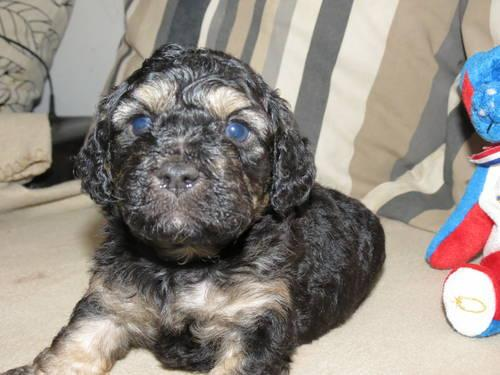 Cava-Poo-Chon Puppies for Sale - Teddy Bear Pups - 8