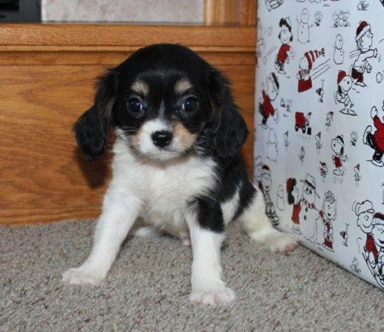 Cavachon Puppies! 2 left!