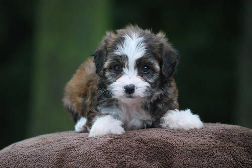 Cavachon Puppies 8 Wks Non Shed For Sale In Pine Island