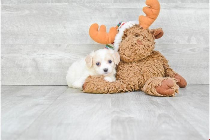 Cavachon Puppies For Sale!! Yancy!! ( F ), Www premierpups com