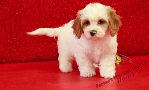 Cavachon Puppy For Sale Adoption Rescue For Sale In Hickory