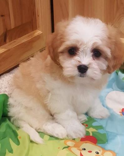 Cavachon Puppy for Sale - Adoption, Rescue for Sale in Wausau