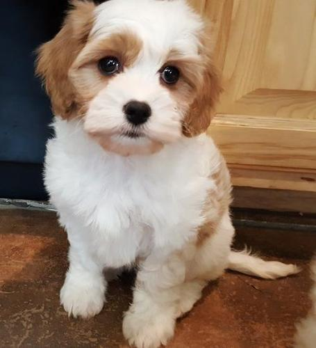 Cavachon Puppy for Sale - Adoption, Rescue
