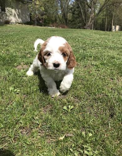 Cavachon Puppy for Sale - Adoption, Rescue