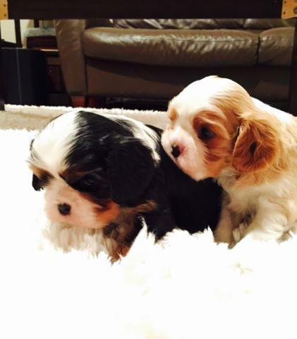 Cavalier King Charles - AKC male puppies- Health