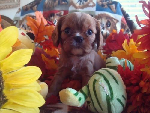 Cavalier King Charles AKC with full registation--
