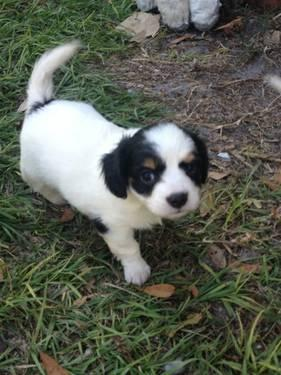 Cavalier King Charles/ Chihuahua puppies