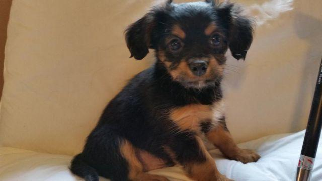Cavalier King Charles M puppy, black & Tan