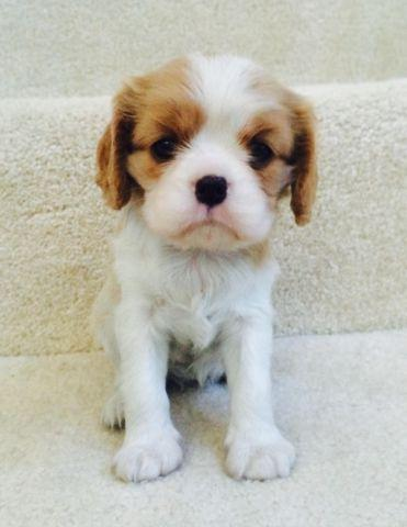 Cavalier King Charles puppies-Champion lines-Health