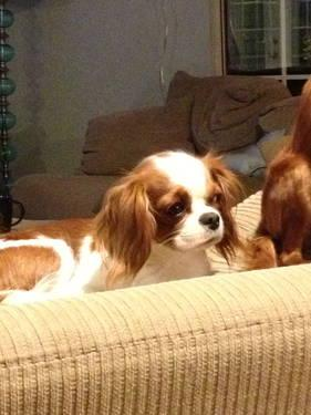 Cavalier King Charles Spaniel male rescue for Sale in ... - photo#23