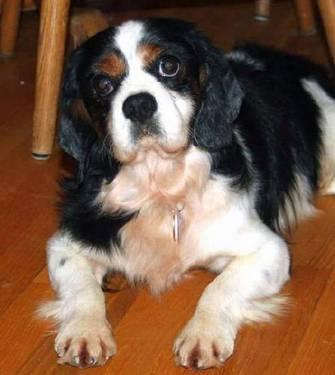 King charles spaniel adult for sale can