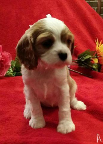 Cavalier King Charles Spaniel puppies 2 female