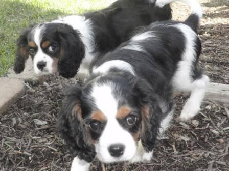 King charles spaniel adult for sale