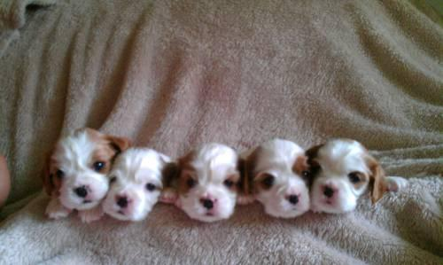 Cavalier King Charles Spaniel PUPPIES FOR SALE on Long Island, NY