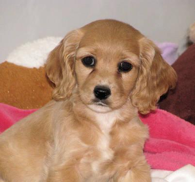 Cavalier King Charles Spaniel Puppies (Purebred & Hybrids) Ready NOW ...