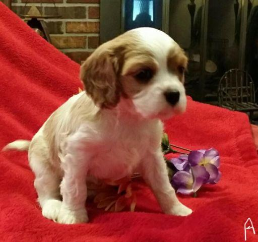 Cavalier King Charles Spaniel puppy 2 males