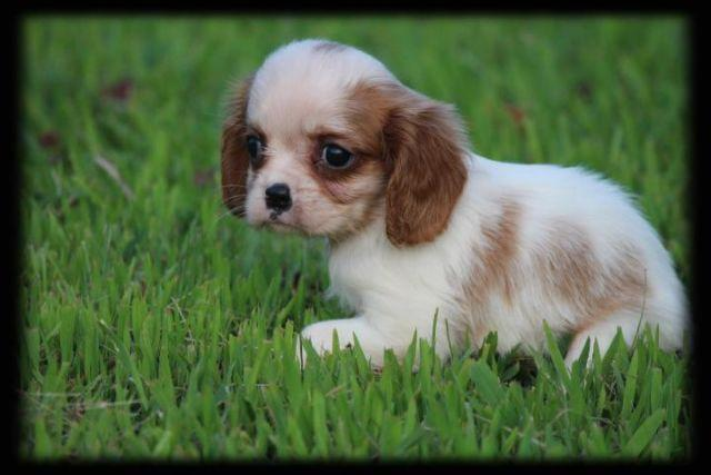 Cavalier King Charles Spaniel Puppy Female - 8 Weeks