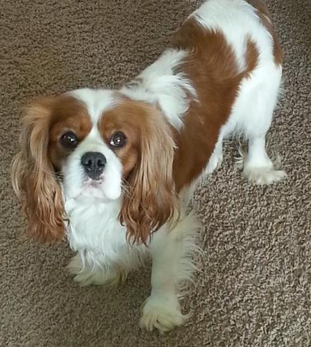 Cavalier King Charles Spaniel Puppy for Sale -