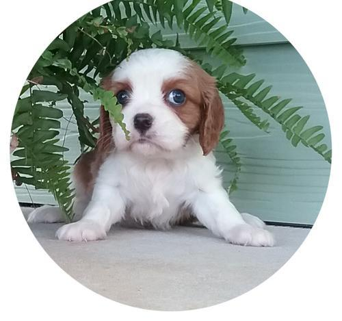 Cavalier King Charles Spaniel Puppy For Sale Adoption Rescue For