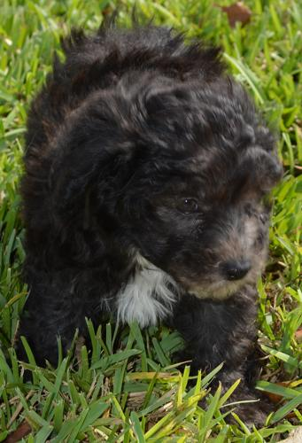 Cavalier x Bichon = Cavachon puppy is weeks old ready