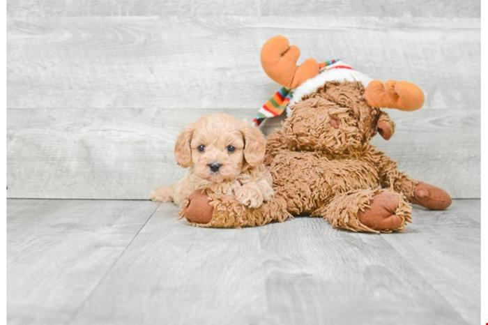 Cavapoo Puppies For Sale! Bade!! ( M ), Www premierpups com