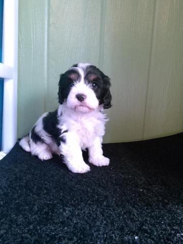 cavapoo puppies males/females available