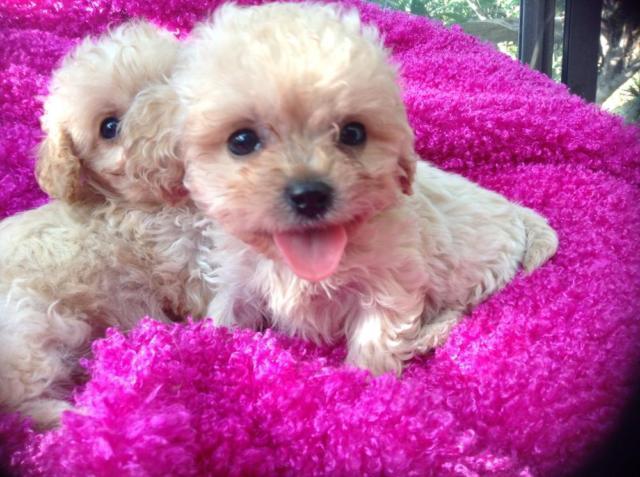 CAVAPOO Puppies, non sheddding, non allergenic