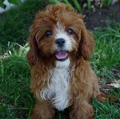 Cavapoo Puppy for Sale in Marysville, Kansas Classified ...