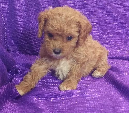 Cavapoo Puppy for Sale - Adoption, Rescue for Sale in Bettendorf
