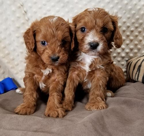 Cavapoo Puppy for Sale - Adoption, Rescue for Sale in